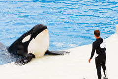 Shamu the Killer Whale at SeaWorld Stock Photo