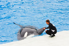 Shamu the Killer Whale at SeaWorld Stock Images
