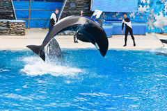 Shamu the Killer Whale at SeaWorld Stock Image