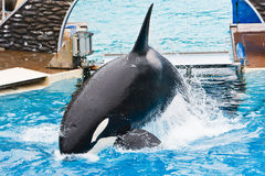 Shamu the Killer Whale at SeaWorld Royalty Free Stock Image
