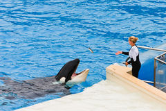 Shamu the Killer Whale at SeaWorld Stock Photography