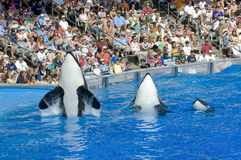 Shamu Killer Whales and Baby Stock Images