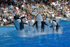 Shamu Killer Whales and Baby. Shamu killer whale and two others Sea Sea World Orlando Florida stock image