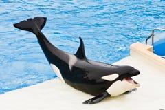 Shamu la ballena de asesino en SeaWorld Foto de archivo libre de regalías