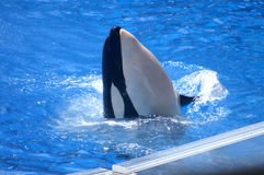 Shamu, Large Killer Whale Performs Royalty Free Stock Photo