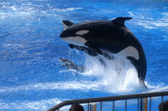 Shamu, Large Killer Whale Performs Stock Images