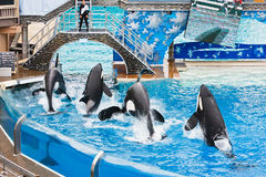 Shamu and other Killer Whales at SeaWorld Stock Photography
