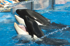 Shamu show Stock Photography