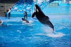Shamu Show Stock Photos
