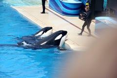 Shamu Show, SeaWorld, San diego, California Stock Photos