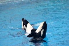 Shamu Show, SeaWorld, San diego, California Stock Images