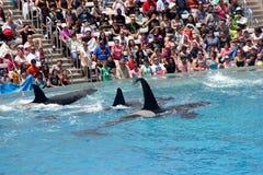 Shamu Show, SeaWorld, San diego, California Royalty Free Stock Photography