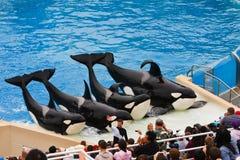Shamu und andere Mörder-Wale bei SeaWorld Stockbilder