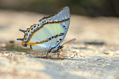 The shan nawab polyuria butterfly. The shan nawab polyuria nepenthes ( Grose- Smith ) in Nature on sand Royalty Free Stock Image