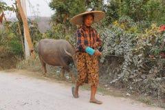 Shan woman bringing home her water buffalos Royalty Free Stock Photos