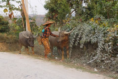 Shan woman bringing home her water buffalos Stock Image