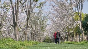 Shanghai, China - April 1, 2019: elderly couple hand in hand walking in the cherry blossom forest in sunny day. Enjoy their retired life, 4k movie, slow motion stock video
