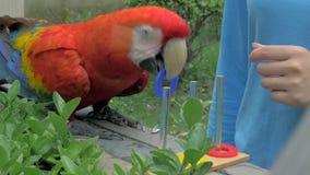 Shanghai, China - Juni 3, 2018: Close-up van arapapegaai opleiding bij de dierentuin Papegaai die kleuren met opleiden te ondersc stock video