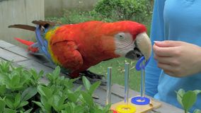 Shanghai, China - Juni 3, 2018: Close-up van arapapegaai opleiding bij de dierentuin Papegaai die kleuren met opleiden te ondersc stock footage