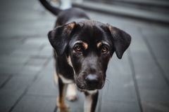 Shanghai Hound - China puppy royalty free stock photography