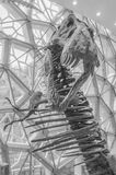 The dinosaur skeleton in the Shanghai Museum. Shanghai Museum, a tyrannosaurus skeleton was looking me. It has a mouth and looks very angry Royalty Free Stock Images