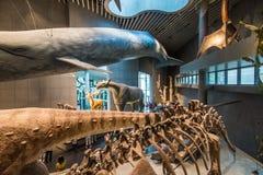 Shanghai naturhistoriamuseum arkivfoto