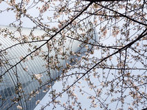 Shanghai skyscraper with cherry blossoms Royalty Free Stock Photography