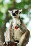 Shanghai Wild Animal Park ring-tailed lemur Royalty Free Stock Photography