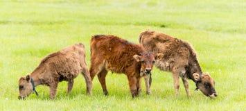 SHANGRILA, КИТАЙ - 31-ое июля 2014: Коровы на озере Napa известная земля Стоковая Фотография RF