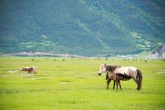 SHANGRILA, CHINA - 31 de julio de 2014: Caballos en el lago Napa un la famoso Imagen de archivo