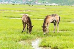 SHANGRILA, CHINE - 31 juillet 2014 : Chevaux au lac Napa une La célèbre Images stock