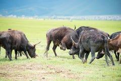 SHANGRILA CHINY, Jul, - 31 2014: Krowy przy Napa jeziorem sławna ziemia Zdjęcie Stock