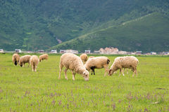 SHANGRILA CHINY, Jul, - 31 2014: Sheeps przy Napa jeziorem sławny los angeles Obraz Stock