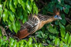 Shansho between branches peruvian Amazon jungle Madre de Dios Pe. Ru Royalty Free Stock Photos