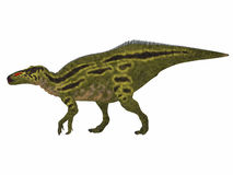 Shantungosaurus Dinosaur Side Profile. Shantungosaurus was a herbivorous Hadrosaur dinosaur that lived in China in the Cretaceous Period Royalty Free Stock Images