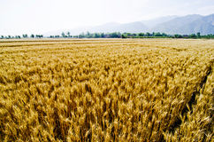 Shanxi Yuncheng wheat field Stock Images