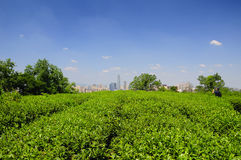 Shaoxing China Green Tea Field. A green tea field within the Hu, East Lake, scenic area with the city of Shaoxing China in the background against a blue sky in royalty free stock photo