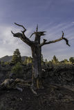 Shape of dead tree in Sunset Crater Volcano Royalty Free Stock Photo