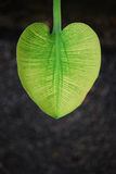 Shape Of Heart. A leaf with the shape of a heart Royalty Free Stock Photography