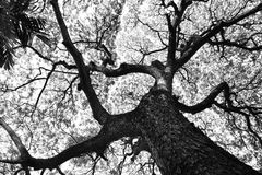 Shape of Samanea saman trees and pattern of branch in black and white tone Stock Images