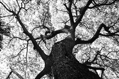 Shape of Samanea saman trees and pattern of branch in black and white tone Royalty Free Stock Images