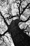 Shape of Samanea saman trees and pattern of branch in black and white tone Royalty Free Stock Image