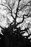Shape of Samanea saman trees and pattern of branch in black and white tone Stock Photo