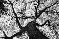 Shape of Samanea saman trees and pattern of branch in black and white tone Stock Photography