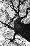 Shape of Samanea saman trees and pattern of branch in black and white tone Stock Image