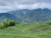 Bakua tea garden royalty free stock photos