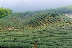 The shape of tea garden like chinese Eight Trigrams Royalty Free Stock Images