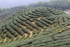 The shape of tea garden like chinese Eight Trigrams Royalty Free Stock Image
