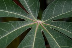 The shape and texture of tropical green leaves royalty free stock photo