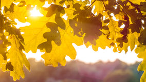 Shape of yellow oak tree leaves in warm sun light. Backlit flares through the foliage.  Stock Photography